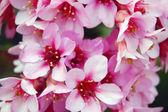 Beautiful pink spring flowers — Stock Photo