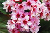 Beautiful pink spring flowers — Stock Photo