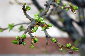 Tree branch with buds background, spring — Stock Photo