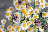 Beautiful spring flowers, daisies — Stock Photo