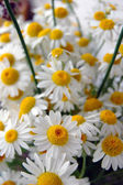 Beautiful spring flowers, daisies — Stock Photo