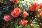 Beautiful roses in spring garden — Stock Photo