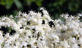 Blooming elderflower in garden — Stock Photo