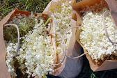 Elderflowers in paper bags — Stock Photo