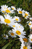 Beautiful spring background with flowers, daisies — Stock Photo