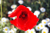 Red poppy blooming in garden — Stock Photo