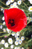 Red poppy blooming in garden — Stockfoto