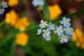 Summer background of forget me not — Stock Photo