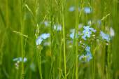 Background of forget me not flowers — Stock Photo