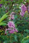 Spring flower, twig purple lilac, Syringa vulgaris — Stock Photo