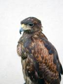 Brown eagle looking away — Stock Photo