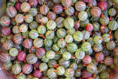 Fresh pink and green gooseberries — Stock Photo