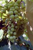 White wine grapes hanging — Stock Photo