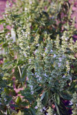 Fresh basil in the garden — Stock Photo