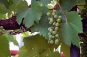 White wine grapes — Stock Photo