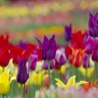 Tulips in the garden — Stock Photo #60341089