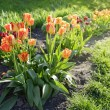 Tulips in the flowerbed — Stock Photo #62785175