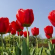 Tulips in the garden — Stock Photo #63988517