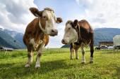 Cows in the farm — Stock Photo