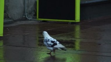Dove walking through people traffic — Stock Video