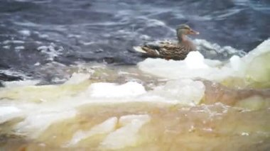 Black duck climbing up the ice — Vídeo de Stock