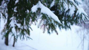 Green needles of fir tree branch — Stock Video