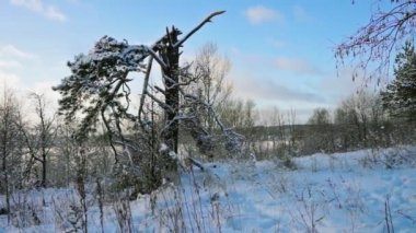 Winter forest and dry grass on snowdrifts. — Stock Video