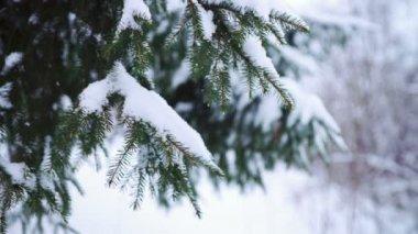 Green needles of fir tree branch — 图库视频影像