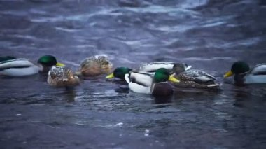 Flock of ducks hunting at Lososinka river — Stock Video