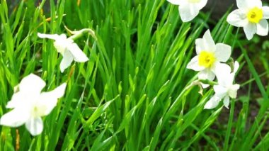 Beautiful white narcissus in grass — Stock Video
