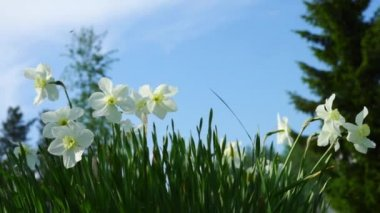 Tender white narcissus flowers in grass — Stock Video