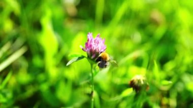 Bumblebee Pollinating Clover Flowers — Stock Video
