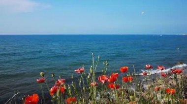 Poppy Flowers At Sea Coastline — Stock Video