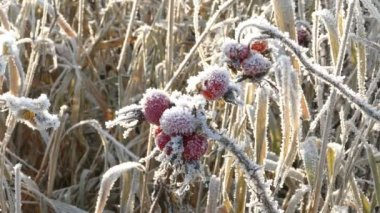 Briar Berries With Hoarfrost in Frosty Day — Stock Video