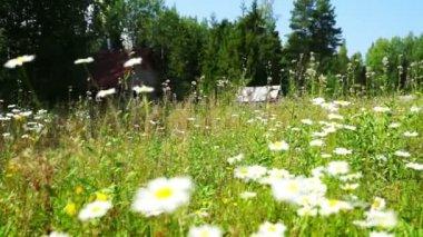 Beautiful White Daisy Flowers — Stock Video