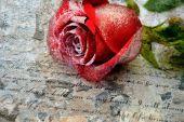 Rosa roja en la carta de amor — Foto de Stock