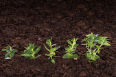 Green saplings representing new business — Stock Photo