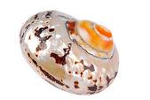 贝壳壳分离 — 图库照片