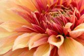 Chrysanthemum flower close-up — Stock Photo