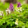 Corydalis solida (fumewort) — Stock Photo #70414275