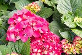 Pink hydrangea flowers — Stock Photo