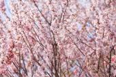 Pink sakura tree — Stock Photo