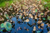 Wilted lotus leaves in a pond — Stock Photo