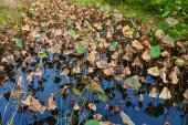 листья лотоса в пруду — Стоковое фото