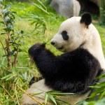 Hungry giant panda bear — Stock Photo #67517925