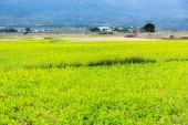 Rice growing in the field — Stock Photo