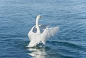 The  swan on the lake flaps wings — Stock Photo