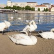 Swans by Vltava River — Stock Photo #57277823