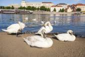 Swans by Vltava River — Stock Photo