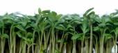 Fresh garden cress — Stock Photo